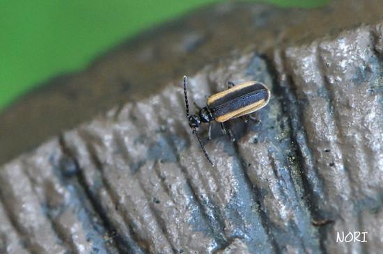 Ischalia_brachyptera180713