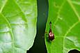 ヒゲナガオトシブミ(♂)